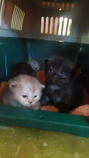 Bkh Kitten und perser kitten