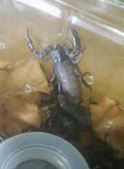 Heterometrus laosticus Scorpion Babys