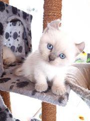 BKH Kitten Einzigartige