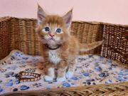 Maine-Coon-Katze in Farbe red tabby