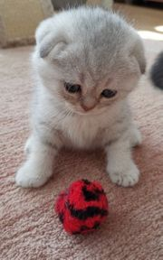 BKH Scottish fold Junge