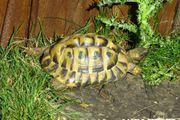 Griechische Landschildkröte Ostrasse Thb - männlich-