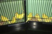Kanarienvogel gelb intensiv Limoncino italiano