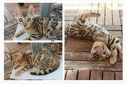 2 Wunderschone Bengal Kitten stammbaum