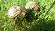 Schildkröte - Griechische Landschildkröte