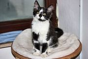 Main Coon Mix Kitten