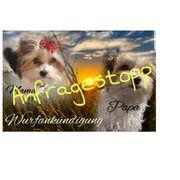 Biewer Yorkshire Terrier Mini