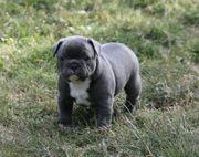 Französische Bulldogge Welpen Blau Blue