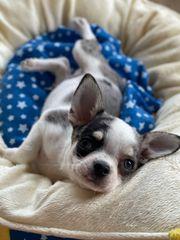 Chihuahua Welpen mit Papieren blauen