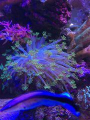 Korallen Alveopora LPS kleiner Stock