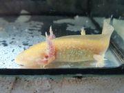 Axolotl Goldalbinos 10 -15 cm