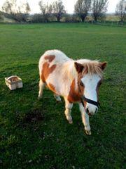 shetland pony 6 monate