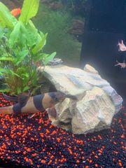 11 Stück Fische verschiedene Farben