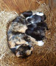 Wunderschöne Perser mix Kätzchen abzugeben