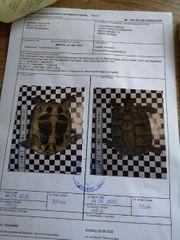 griechisch landschildkröten weiblich und männlich