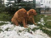 Bordeaux Doggen Welpen mit Stammbaum