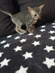 Don Sphynx Kitte Black Tabby