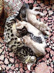 Bengal Kätzchen abgabebereit