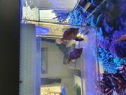 Tangfeilenfisch Glasrosen Fresser