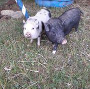 Minipigs Miniaturschweinchen
