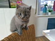 BKH Kater Kitten Katzenbaby blue