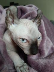 Abholbereit Sphynx-Elf Kitten