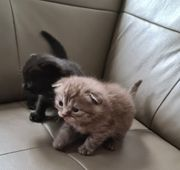 Bkh Britisch Kurz Haar kitten