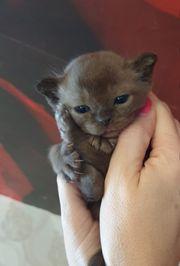 Katze Burma Kitten