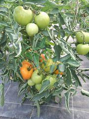 Bio-Tomatensetzlinge zum Bestellen