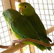 Spengeli Kolumbianer Blauflügel Paar