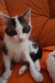 Katzenbabys Benny Orion und Candy
