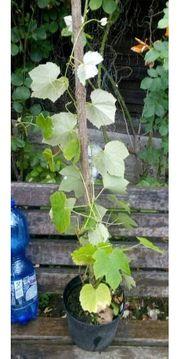 Biete 3 Järige Trauben Jungpflanzen