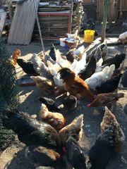 Junge Hühner