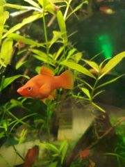 Xiphophorus helleri Schwertträger Aqurium Fisch