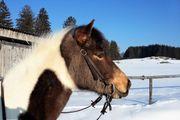 Suche Pflege- Reitbeteiligung für Pony