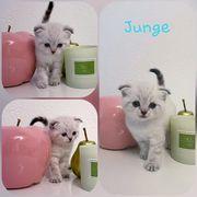 BKH Scotish Kitten
