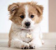 Suche Pomeranian Puggle Mix