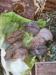 Zwerghamster-Babys Campbell handzahm Hamster noch