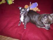 Chihuahua Hündin Kurzhaar