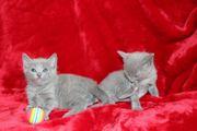 Russisch Blau kitten 2 Junge
