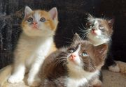 EKH x BKH Mix Kitten