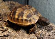 2 Dalmatinische Landschildkröten Testudo hermanni