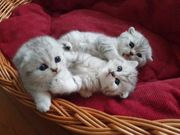 BKH Scottish Fold Kitten mit