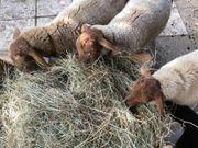 Coburger Füchse suchen ein Zuhause