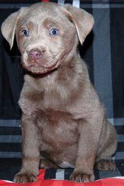 Silberne Labrador Hündin auf der