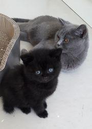 Wunderschöne Katzenbaby BkH Katerchen