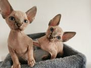 Kanadische Sphynx Kitten geb am