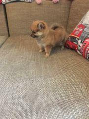 Zwergspitz Pomeranian sehr klein und