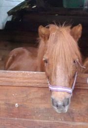 Shettyland Pony gut geritten Stm