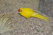 Ziegensittich Hahn gelb